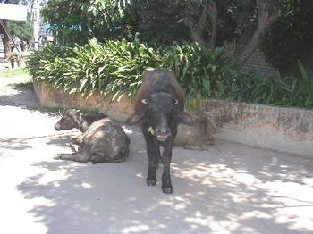 bulls_outside_iimb_16_nov.JPG