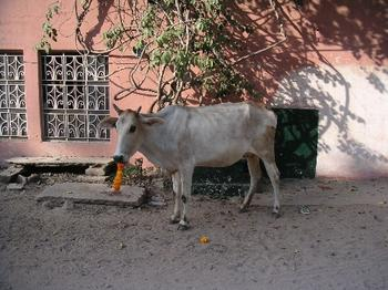 cow_eating_garland_26_oct.JPG