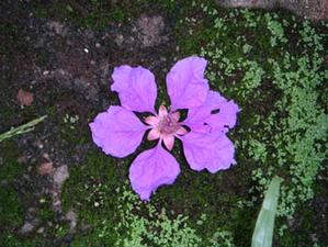 purple_flower_from_tree_3_may