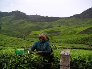 woman_picking_tea_3_may