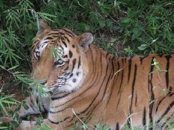 tiger_close_up_9_nov.JPG