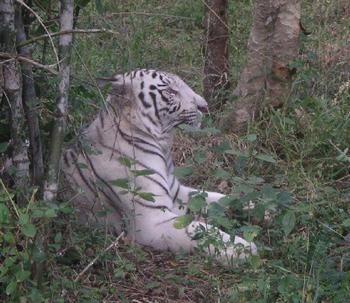 white_tiger_9_nov.JPG